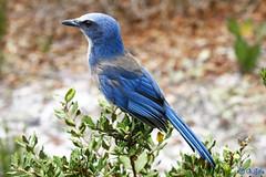 Florida Scrub Jay, Orlando, Florida (Swift Wings) Tags: aphelocomacoerulescens scrubjay jay birds nature wildlife outdoors