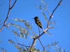 Midwinter Hummingbird Checking Me Out (Chic Bee) Tags: naturewalk birding hummingbird rillitoriver tucson arizona photopedia fotopedia