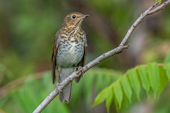 Swainsons Thrush (Joe Branco) Tags: branco joe lightroom photoshop macro canada ontario joebrancophotographer nature grass nikond850 wildlifephotographer nikon swanson'sthrush green