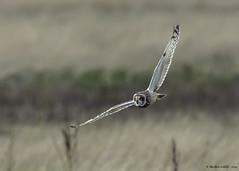 the eyes have it (blackfox wildlife and nature imaging) Tags: nikon d7200 sigma150600c shortearedowl birdsofprey raptor deeestuary wirral bif