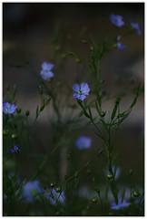 ...Flax... (shallowcreek) Tags: makro blume flower farben colors grün green blau blue
