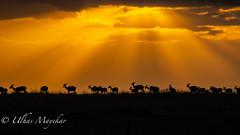 Impalas at sunset Masai Mara (mayekarulhas) Tags: wildlife impala masaimara canon mammal herbivore kenya africa safari sunset