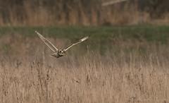 Short Eared Owl -1864 (WendyCoops224) Tags: 100400mml 80d fens winterwatch canon eos ©wendycooper short eared owls asio flammeus