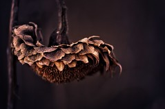 Winter sunflower (JossieK) Tags: wilted dried sunflower dark winter hanging mood atmosphere flower dry cold
