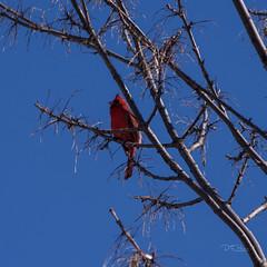 03-17-2019 Cardinal IMG_4612-Sq (mnchilemom) Tags: birds cardinal spring