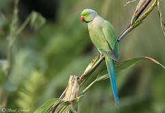 Rose-Ringed Parakeet (M) - Chennai, India - Nov 2018 (Saad Towheed Photography) Tags: rose ringed roseringed parakeet male chennai india bird feather beak wing