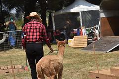 DSC_5104 (VAYG) Tags: vay vytec paraders aaa victorian alpaca association youth australian australia iar 2019 alpacas alpacalypse crystal cove profarma jay hall athena melbourne show redhill red hill