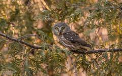 Northern saw-whet owl (salmoteb@rogers.com) Tags: bird wild outdoor nature ontario canada tree sedar wildlife animal northern sawwhet owl