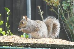 21 March 2019 (7) (AJ Yakstrangler) Tags: yakstrangler squirrel
