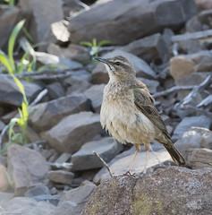 Yellow-tufted Pipit (Anthus crenatus)-9801 (Dave Krueper) Tags: africa aves bird birds landbird motacillidae passeriformes passerine pipit southafrica ytpi
