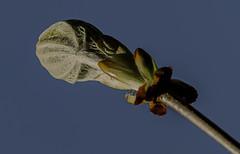 Burst Sticky Bud (ianbartlett) Tags: outdoor 365 nature buds flowers trees light feathers leaves colour