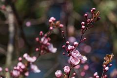 Blood plum (Prunus cerasifera) (colorgraVie) Tags: blutpflaume blüte bokeh nikonafpnikkor70300mmf4556eedvr nikond7200 pflanze prunuscerasifera bloodplum blossom plant