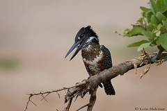 Giant Kingfisher (leendert3) Tags: leonmolenaar southafrica krugernationalpark wildlife nature birds giantkingfisher ngc npc