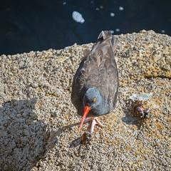 Black Oyster Catcher (Riex) Tags: oiseau bird animal rocher rock redbill becrouge monterey california californie a900 amount minoltaamount maxxum af reflex 500mm f8 telephoto lens mirror catadioptric sal500f80 miroir optiqueamiroir blackoystercatcher