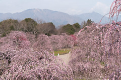 20190401 鈴鹿の森庭園【しだれ梅(早朝)】 (syashindorakunin) Tags: 花 梅 しだれ梅 plum flowers ume 鈴鹿の森庭園 suzukaforestgarden plumtreegarden japan