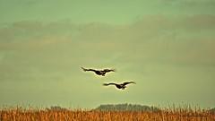 Pares (Aprehendiz-Ana Lía) Tags: flickr nikon aves cielo campo fotería argentina santaclaradelmar nubes sky pájaros pampa estancia nahuelruca árboles monte talas pares bird naturaleza nature