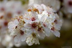 Primavera (DirkVandeVelde ( very busy)) Tags: europ europa europe belgie belgium belgica belgique buiten flora bloesem lente spring primavera printemps westvlaanderen sony bloem blankenberge zeebrugge