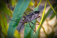 Insect world! Common Gum Tree Shield Bug - Poecilometis patruelis (Eumecopus patruelis) (Uhlenhorst) Tags: 2005 australia australien animals tiere travel reisen