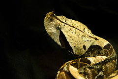 Beautiful but deadly - Gaboon Viper (fenicephoto) Tags: snake gaboonviper giftschlange
