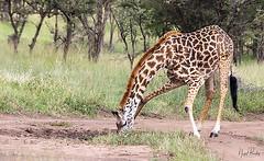 GIRAFFE 4 (Nigel Bewley) Tags: tanzania africa wildlife nature wildlifephotography nigelbewley photologo appicoftheweek giraffe giraffacamelopardalis march march2019 maswagamereserve safari gamedrive drinking waterhole splayedlegs