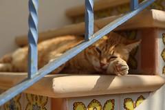 IMG_3652 Rubio, Mallorca (Fernando Sa Rapita) Tags: mallorca sarapita canon canoneos eos6d helios helios44m rubio cat gato mascota pet pata paw
