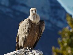 Vautour fauve (MaqPhi) Tags: coth5 gyps fulvus vautour montagne france pointdevue outside bird oiseau nature soleil green verdure