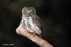 Pygmy owl - Civetta nana (silvano fabris) Tags: wildlifephotography canon wildlife nature photonature animals animali uccelli birds rapacinotturni civettanana pygmyowl