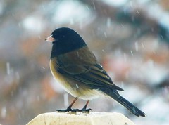 Oregon Junco (starmist1) Tags: bird junco oregonjunco deck deckpost birdseed feeding winter march cold snowing snowstorm bokeh
