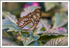 2019.01.14-DSC01699 (Ralf HB) Tags: 2019 botanika bremen insekten schmetterling tiere