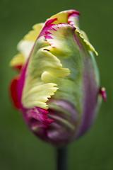 Parrot Tulip (ScarletBlack) Tags: tulip tulips flower macro