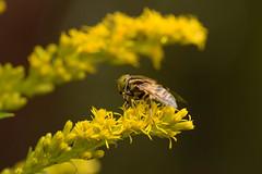 DSC_6697 (Hachimaki123) Tags: 所沢航空記念公園 tokorozawaaviationmemorialpark 日本 japan 所沢市 埼玉県 所沢 tokorozawa saitama animal insect insecto 虫 動物
