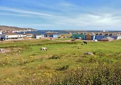 Meadow by the sea (Will S.) Tags: horses chevaux mypics stpierre stpierreandmiquelon stpierreetmiquelon france