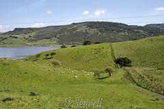 Pascolo sul Bidighinzu (Franco Serreli) Tags: sardinia sardegna pascolo gregge pecore lago bacino lagobidighinzu bidighinzu pastorizia erba campagna campagnasarda pascoloerboso verde sassarese