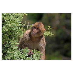 Barbary Macaque, Gibraltar (Monica Max West) Tags: gibraltar monkey macaque barbarymacaque wildlife wildlifephotography wild nature primate