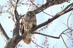 Barred Owl (Tyler C. Grudowski Photography) Tags: illinois chicago wildlife nature bird birds owl owls raptor raptors canon