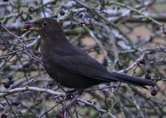 Female Blackbird Hednesford Staffordshire with berry (Hednesford8) Tags: blackbird holly 2019 hednesford staffordshire