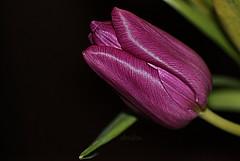 Purple Tulip (abrideu) Tags: abrideu canoneos100d purple tulip flower macro depthoffield bright bokeh plant ngc npc