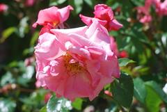 Mein Gott, du wirst mich nicht verlassen (amras_de) Tags: rose rosen ruža rosa ruže rozo roos arrosa ruusut rós rózsa rože rozes rozen roser róza trandafir vrtnica rossläktet gül blüte blume flor cvijet kvet blomst flower floro õis lore kukka fleur bláth virág blóm fiore flos žiedas zieds bloem blome kwiat floare ciuri flouer cvet blomma çiçek