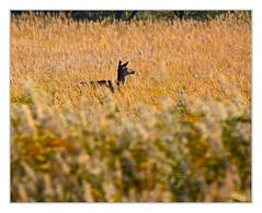 In search..... (bavare51) Tags: hirschkuh tier wildlife schilf dars natur