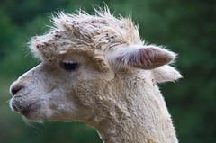 déshabillé (shanahands2) Tags: alpaca flies chic