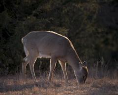 Fawn Feeding 2 (dbirmingham08) Tags: kansas fawn whitetail doe deer wildlife nature sun light morning nikon