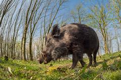 Wild boar (alanrharris53) Tags: wild boar wildlife devon fisheye samyang mft 75mm