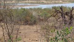 Kudu (Rckr88) Tags: krugernationalpark southafrica kruger national park south africa kudu kudus animals animal rivers river riverbank sabie sabieriver lowersabie water nature naturalworld outdoors wilderness wildlife