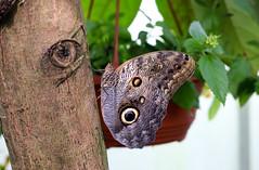 Vacances_0863 (Joanbrebo) Tags: mainau konstanz badenwürttemberg de deutschland canoneos80d eosd autofocus papallona papillon butterfly mariposa farfalle