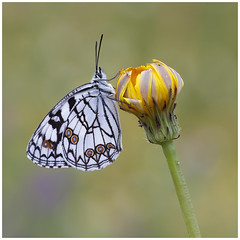 Spanish Marbled White (nigel kiteley2011) Tags: insect nature butterfly butterfrlies canon 5dmk3 canoneos5dmk3 lepidoptera marbledwhite