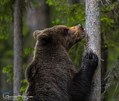 Have you ever tried licking a tree? (GunnarImages (Gunnar Haug)) Tags: mother lick cute finland trunk nordic nose brownbear power wildlife tree forest green brown mammal blueberry branch