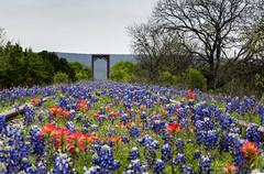 Leading to the Bridge (Caren Mack Photography) Tags: texashillcountry texas hillcountry bluebonnets wildflowers 2019 carenmack