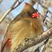 Cardinalis cardinalis (northern cardinal) 18