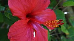 """Beauté marocaine (passionpapillon) Tags: macro fleur flower rouge red hibiscus maroc assionpapillon passionpapillon 2019 """"doublefantasy"""""""