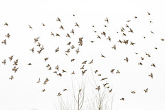 330 (robwiddowson) Tags: birds flock bird animal nature wildlife robertwiddowson art photography flight flying winter